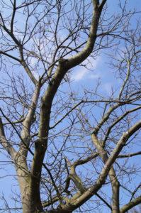 Edelkastanie mit blauem Himmel ohne Blätter