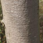 Teil eines Baumstammes mit typischer glatter Rinde einer Edelkastanie