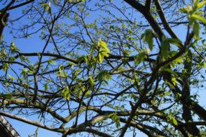 Die Kastanie entfaltet ihre Blätter mit einem frischen Grün.