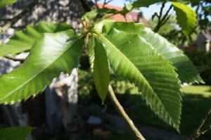 Gruppen von Blättern bilden Blätterbüschel