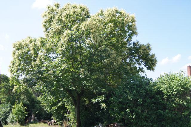 Der Baum ist über und über mit weißen Kätzchen bedeckt