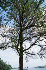 lichte Baumkrone der Feldulme mit Früchten und einsetzendem Blattaustrieb