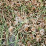 Ulmensamen auf dem Boden